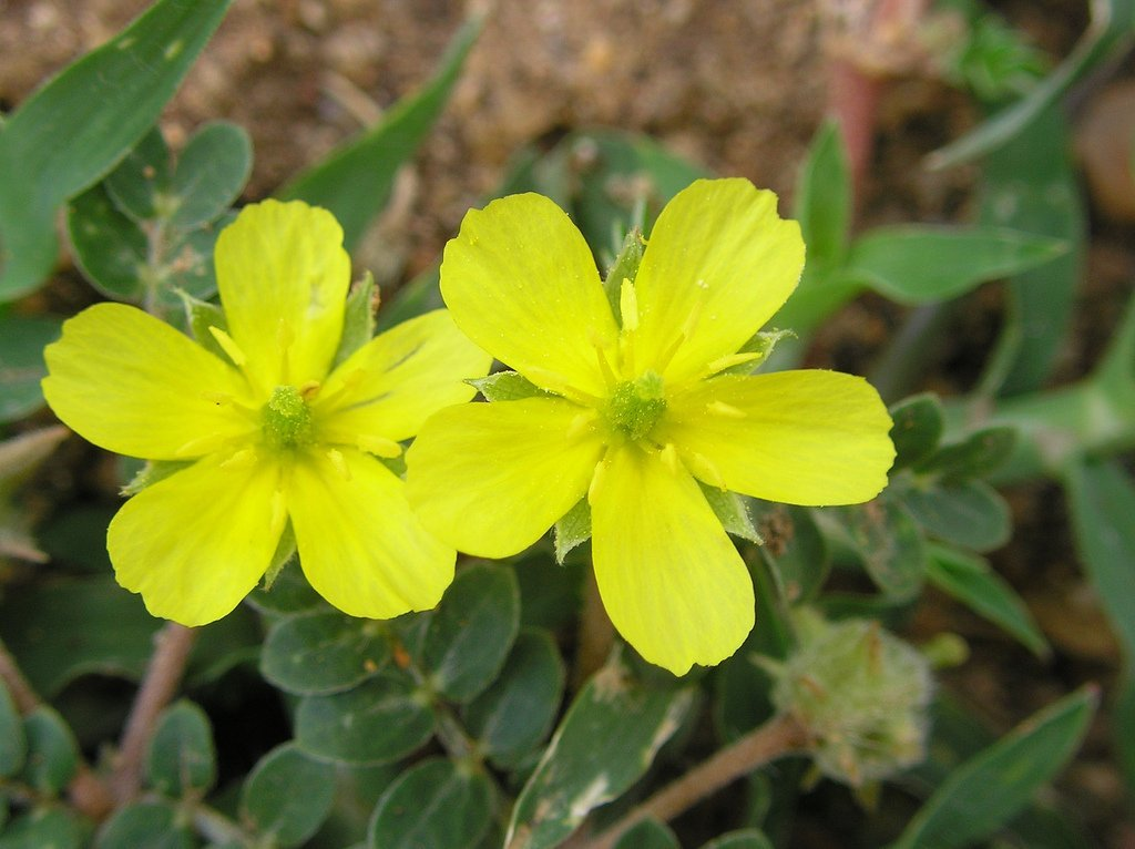 Benefits of Tribulus Terrestris | Clearwater Nutrition Lab
