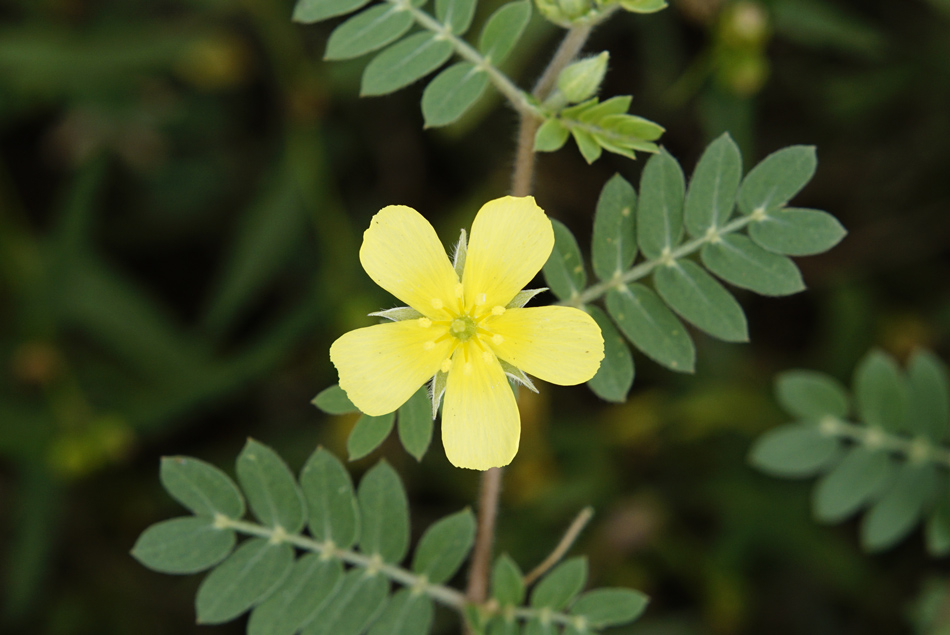 Tribulus Terrestris Benefits and Effects | Clearwater Nutrition Lab